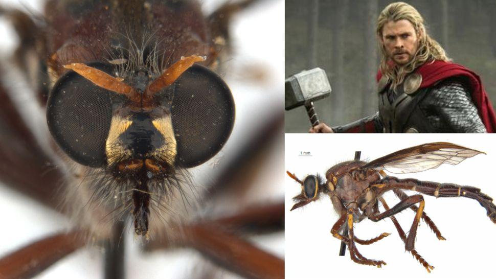 Daptolestes bronteflavus/ new species