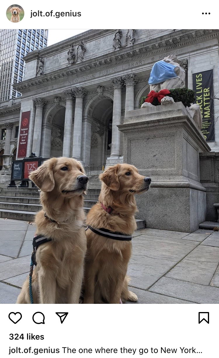 Jolt the golden retriever and her sister in New York City
