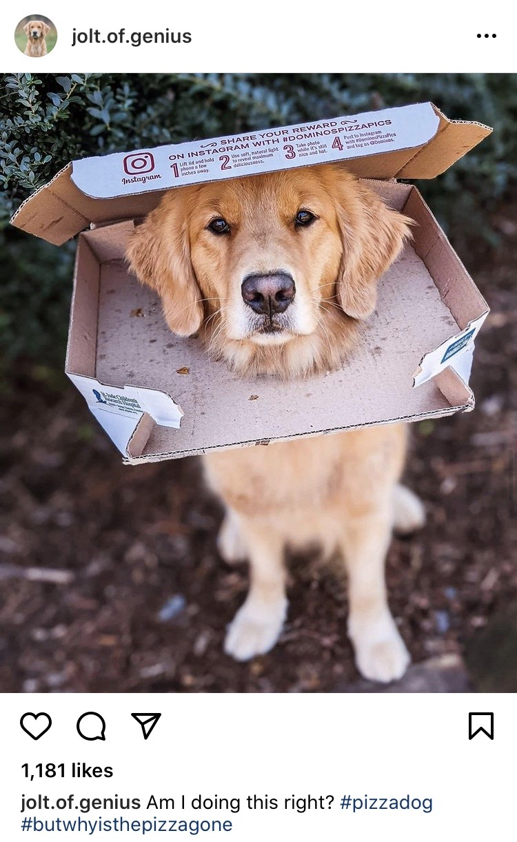 Jolt (Pizza Dog) the Golden Retriever with her head in a pizza box
