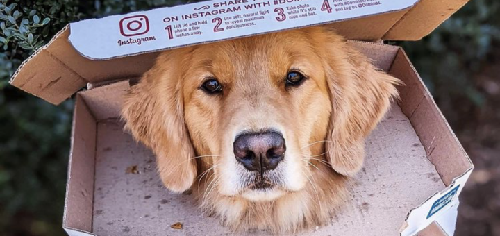 jolt the golden retriever in a pizza box for cover photo